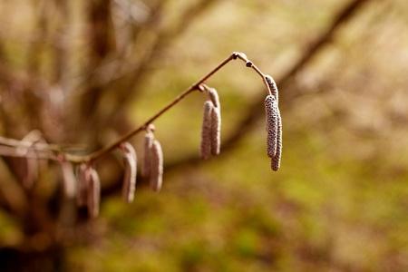 albero nocciola: Hazel Albero amenti maschili - Corylus avellana Archivio Fotografico