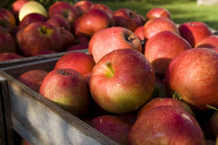 Red apple in the wood box. Autumn harwest Stock Photo