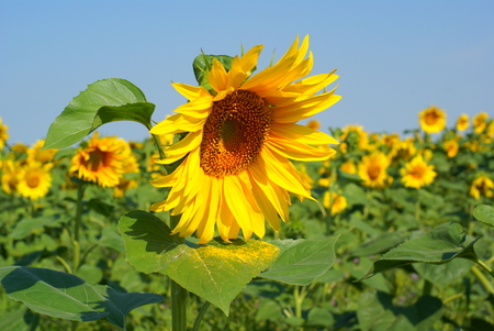 a different kind of sunflower against a blue sky Stock Photo - 1456748