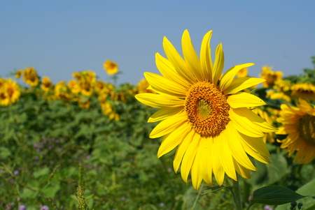 a different kind of sunflower against a blue sky photo
