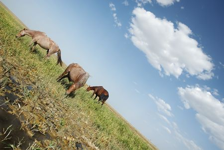 swampy: Outdoor photo of three horses eating the grass on the swampy meadow