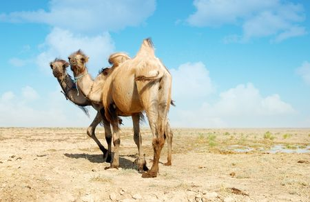 Candid photo of two camels standing in the desert photo