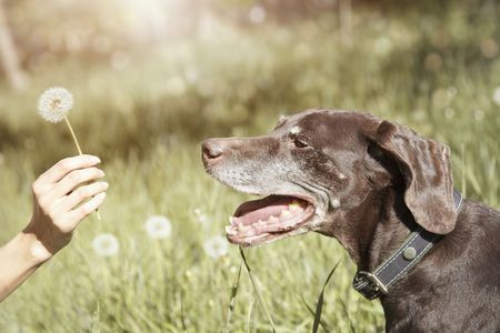 Dog outdoors under the sunlight looking to the human hand holding dandelion photo