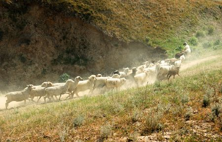 numerous: Numerous sheep walking in mountain area. Middle Asia. Natural light and colors Stock Photo