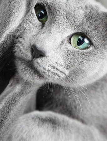 Portrait of funny Russian blue cat with green eyes photo