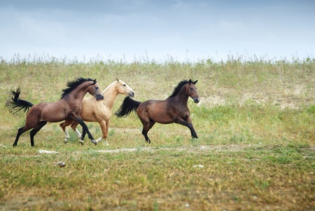 racehorse: Three free horses running together in the steppe. Kazakhstan, Middle Asia. Natural light and colors