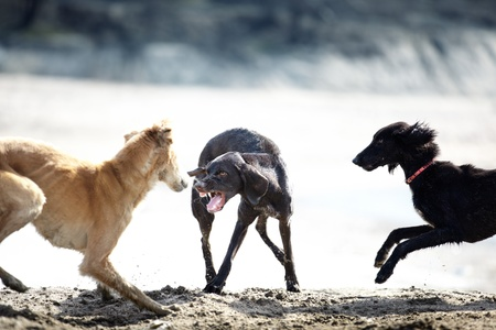 fighting dog: Three dog playing and fighting outdoors. Natural colors and light