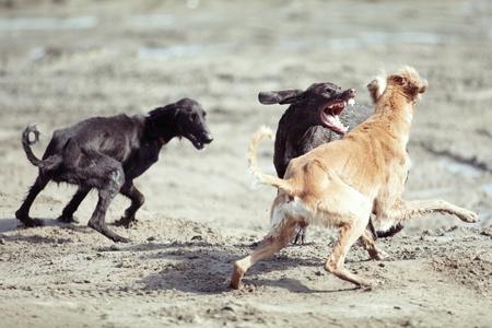 perro furioso: Tres perros jugando y lucha al aire libre. Luz y colores naturales Foto de archivo