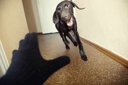 yelp: Dog attacking thief in black gloves. Natural light and colors. Motion blur added for dynamics effect Stock Photo