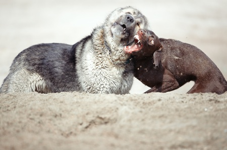 alabai: Two dogs fighting outdoors. Horizontal photo with natural light. Shallow depth of field added for natural look