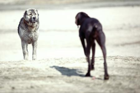 alabai: Meeting of the Middle Asian sheepdog and Kurzhaar outdoors. Natural light Stock Photo