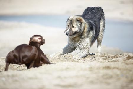 alabai: Middle Asian sheepdog and Kurzhaar playing outdoors. Natural light