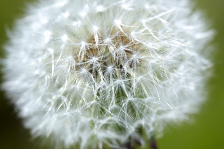 Dandelion on a green background. Extremely close-up photo with shallow depth of field for natural view photo