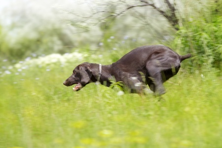 Young German short haired pointer running in the field. Natural light and colors photo