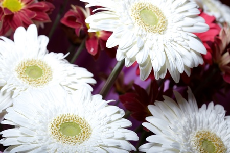 Bunch of the white and red chrysanthemum flowers photo