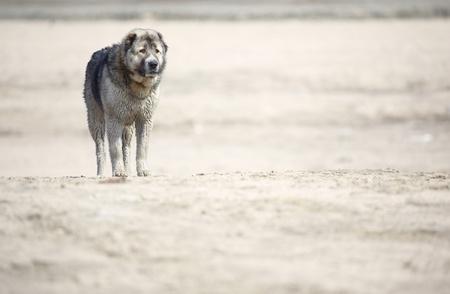 alabai: Middle Asian sheepdog walking outdoors. Natural light and colors