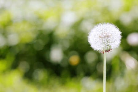 seasonal: Dandelion on a green meadow background. Close-up photo with bokeh and natural colors