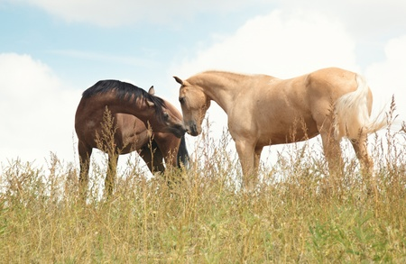 Two horses in the field. Natural colors and light photo