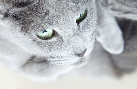Portrait of the gray pussy cat indoors Stock Photo - 13357030