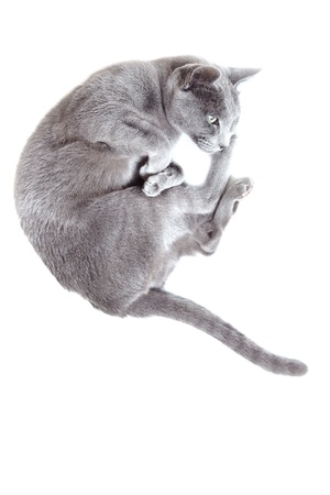 Gray cat laying on a white background photo