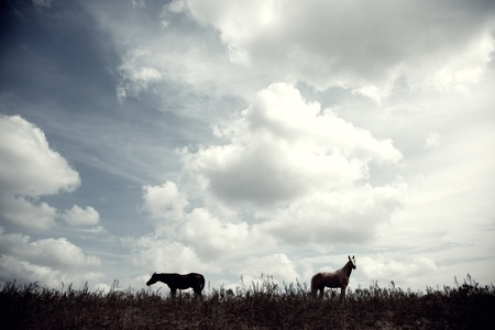 Silhouette of two horses outdoors at the evening photo