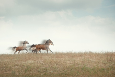 Three horses running in the field. Natural motion blur photo