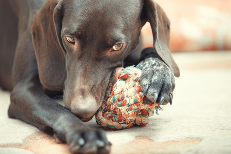 dog toy: German short haired pointer known as Kurzkhaar playing with dog