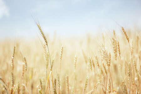 depth of field: Summer field with golden wheat