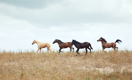running horses: Four horses outdoors running in the steppe