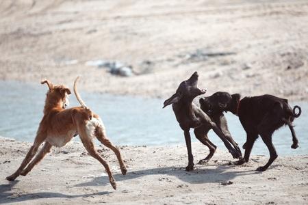 kampfhund: Drei Hunde kämpfen im Freien