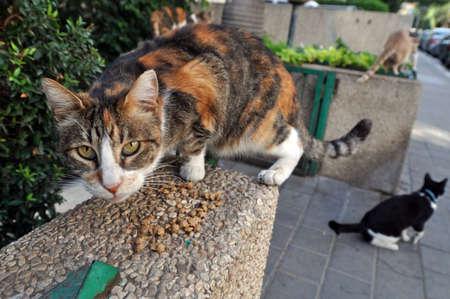 """Alimentaci�n Stray Cats - Un gato gris esterilizaci�n de comer. Asumir la responsabilidad de los gatos """"en particular la responsabilidad por el bienestar de su esterilizaci�n o spaying as� como para su salud."""