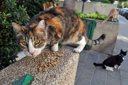 Feeding Stray Cats - A spayed grey cat eating.  Taking responsibility for cats' welfare including responsibility for their neutering or spaying  as well as for their health. Stock Photo - 4538840