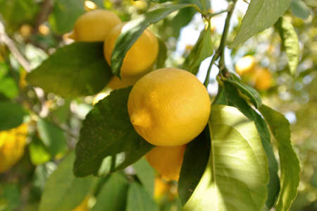 Organic agriculture - lemon tree Stock Photo