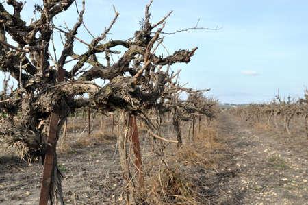 Vineyard in winter, wine making process Stock Photo - 4538831
