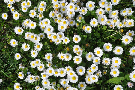 Daisies background - A field of daisies Stock Photo - 4662674