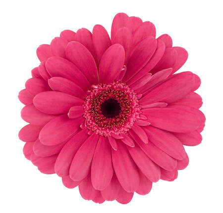 daisies: lilac-coloured gerbera
