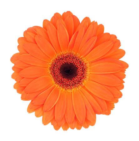 gerbera daisy: orange gerbera