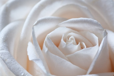 Macro closeup shot of a single beige rose. Shallow depth of field, selective focus. Stock Photo - 12443851
