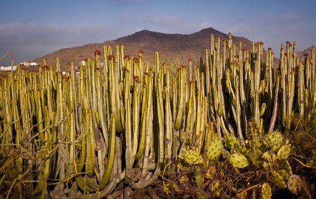 wild canary: Canary Island Spurge Cactus (Euphorbia canariensis) at Tenerife in the evening sunset