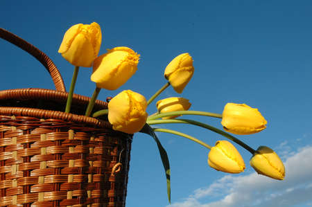 The basket with yellow tulips. My garden, May 2005.