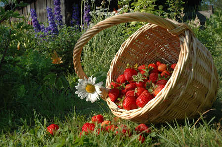 The basket with strawberries. My garden. The harvest of the strawberries.