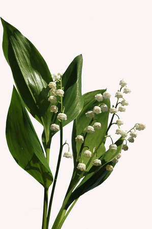 insulate: Lily of the valley on white background.