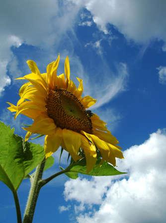 The sunflower. Stock Photo - 639049