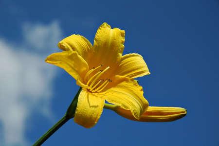 unpretentious: daylily
