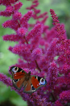 flit: The butterfly on a lilac flower
