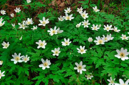 wood`s anemones photo