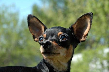 toyterrier:  toy-terrier