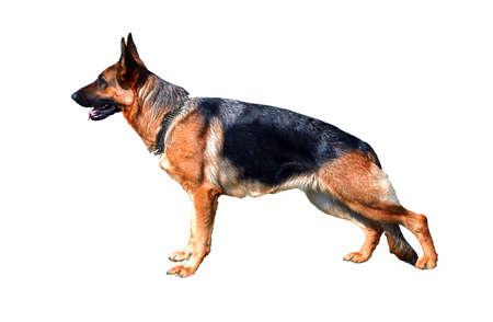 shepard: German Shepherd,  isolated