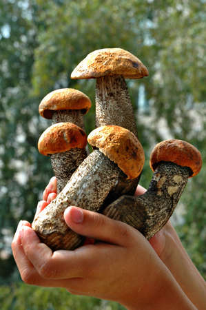 Young aspen mushrooms in hands of the child photo