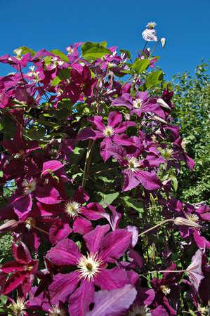 mass flowering: Mass flowering violet clematis